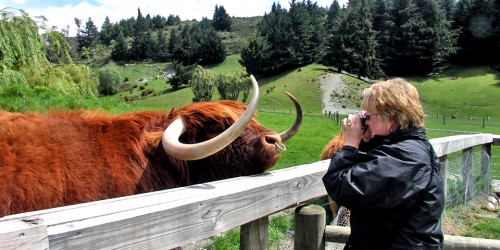 Among the animals you'll meet at Walter Peak Farm are Scottish Highland cattle.