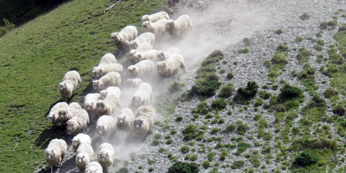 sheep and dog, New Zealand