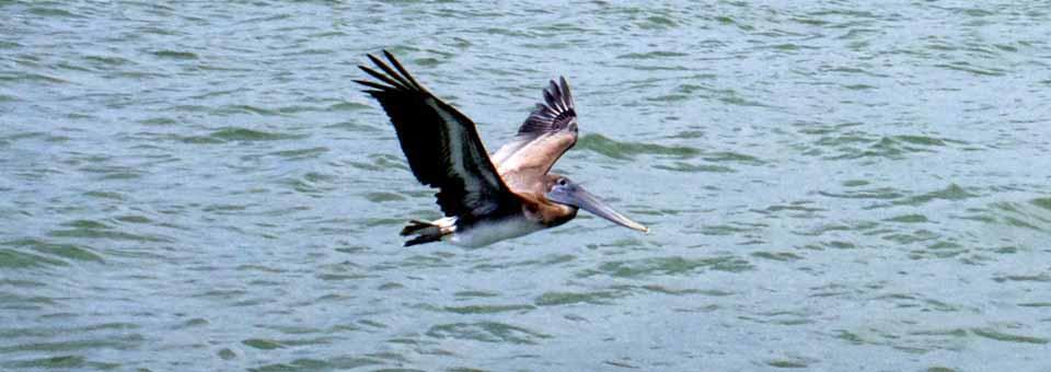 pelican, Galveston, Texas