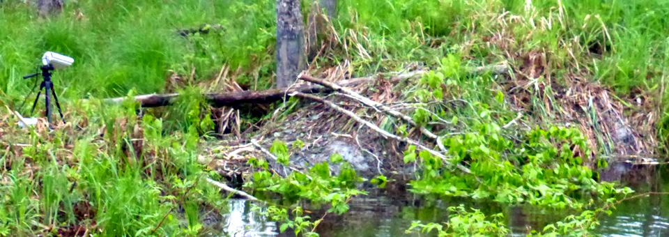 Eco-Odyssée webcam and beaver habit