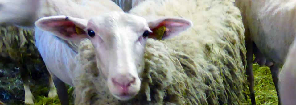 sheep at Les Folies Bergères