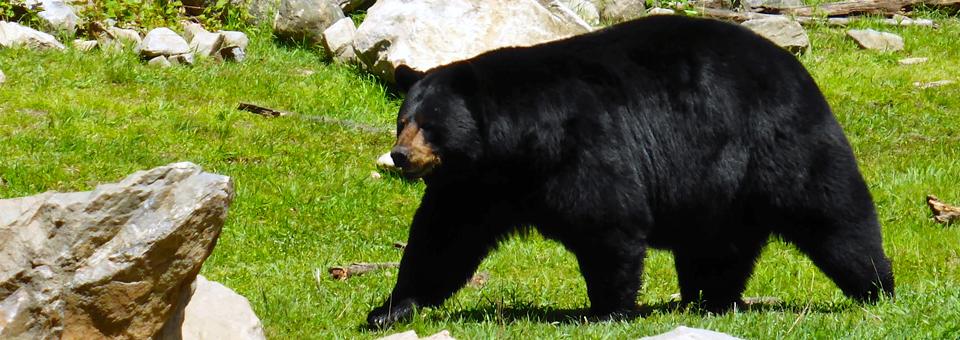 bear at Parc Oméga/Omega Park