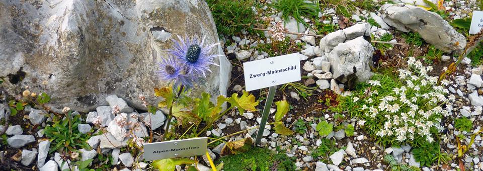 alpine flowers, Ebenalp alpine flowers on hike