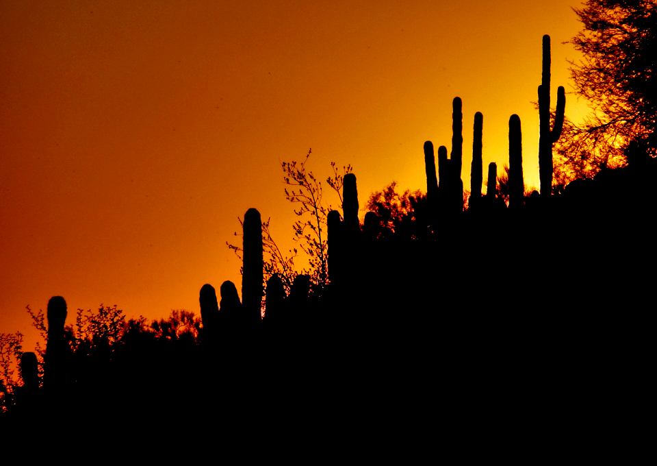 cactus at sunset, The Phoenician, Scottsdale, Arizona