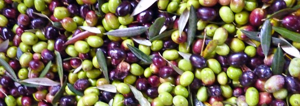 olives at Borgo della Limonaia