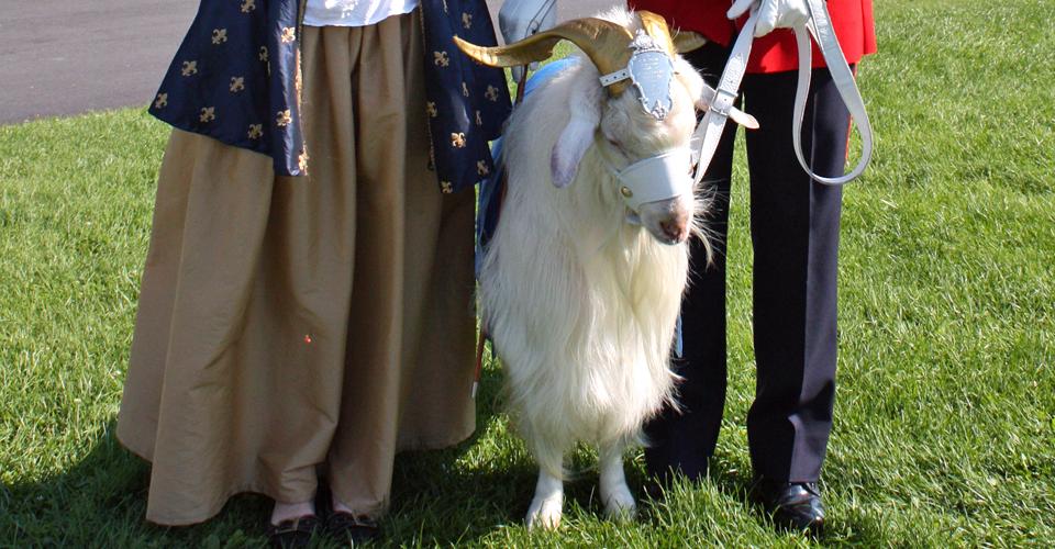 goat, Quebec City 400th