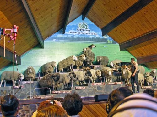 Agrodome Sheep Show, Rotorua, New Zealand