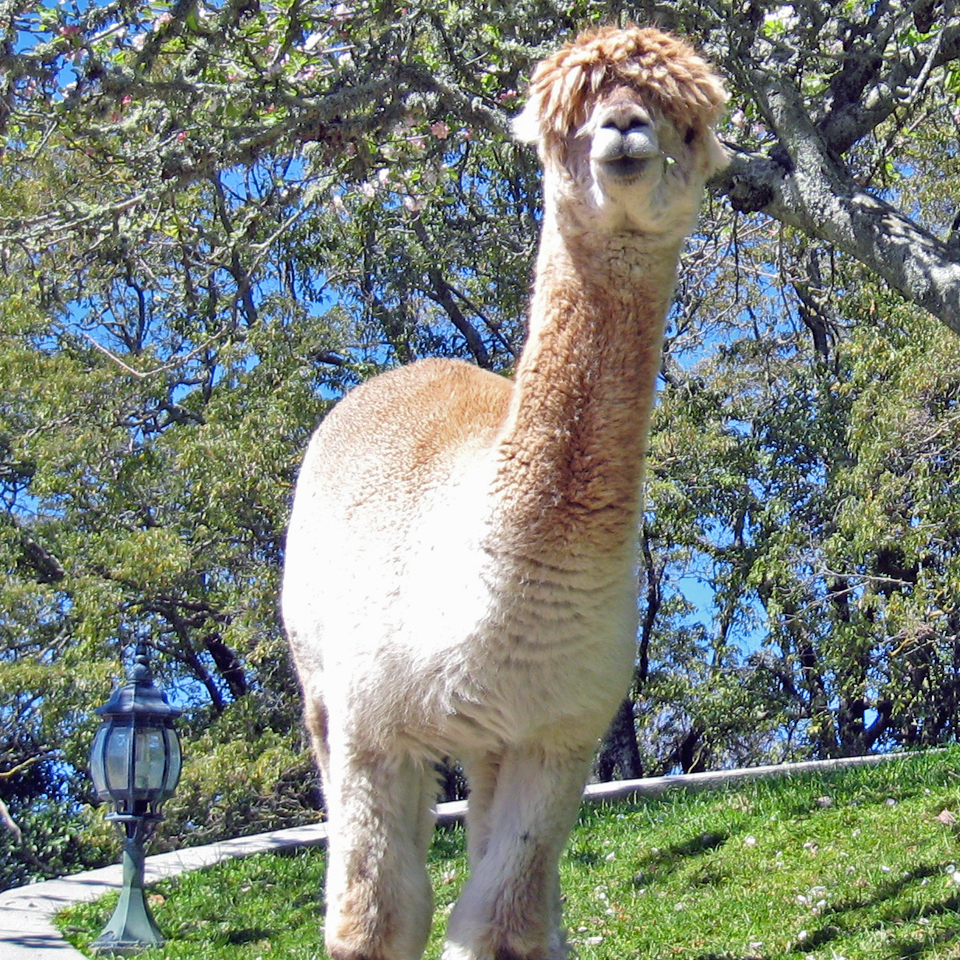 alpaca at Peppers on the Point, Rotorua, New Zealand