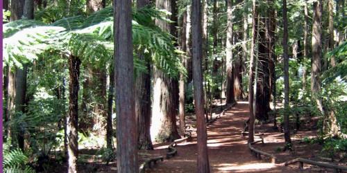 giant redwoods Rotorua, New Zealand