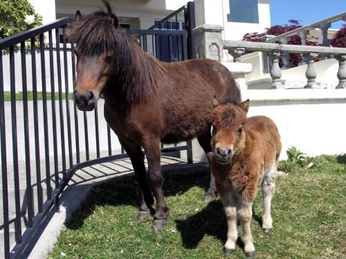 shetland ponies, Peppers on the Point, Rotorua, New Zealand
