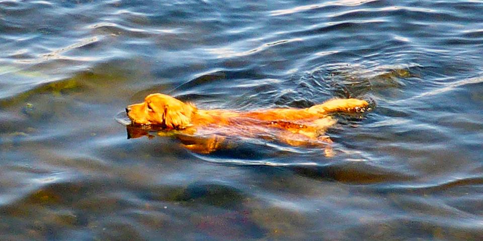 Cooper, a Duck Tolling Retriever, Eel Lake Oyster Farm, Ste. Anne du Ruisseau, Nova Scotia