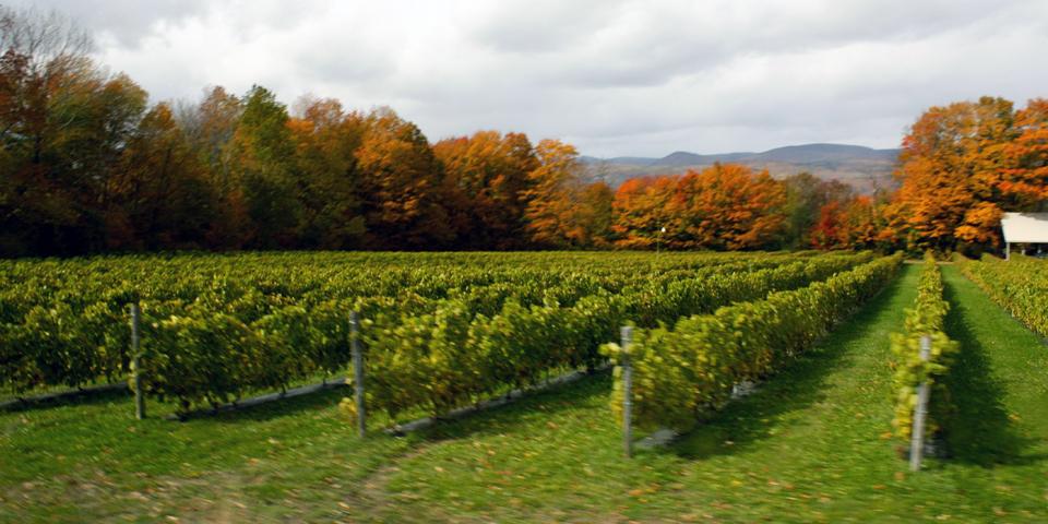Vineyard, Île d'Orleans, Québec, Canada