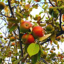 apples, orchards of Cidrerie Verger Pedneault, Charlevoix, Quebec, Canada