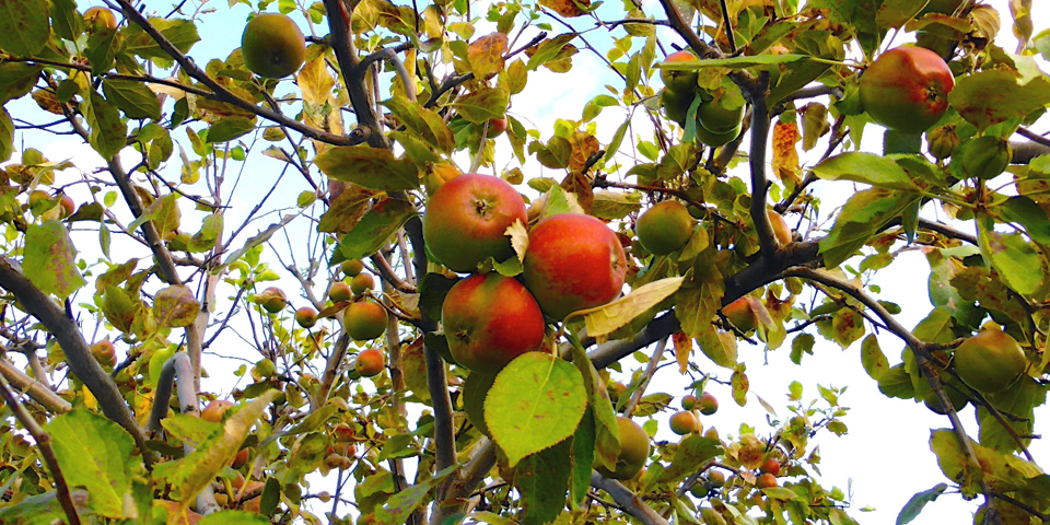 apples, orchards of Cidrerie Verger Pedneault, Charlevoix, Quebec, Canada