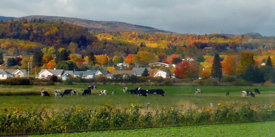 cows, Baie-Saint-Paul, Charlevoix, Quebec, Canada