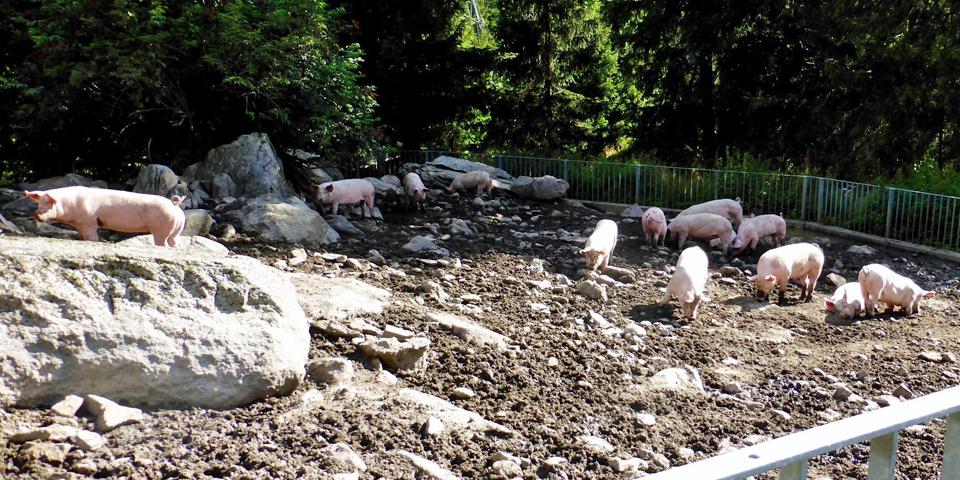 pigs at cheese hut, Switzerland