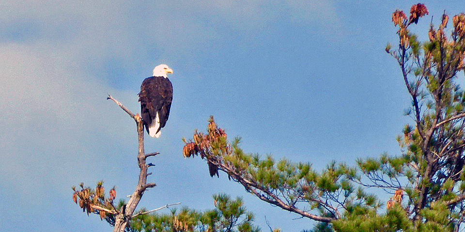 bald eagle, Squam Lake, NH