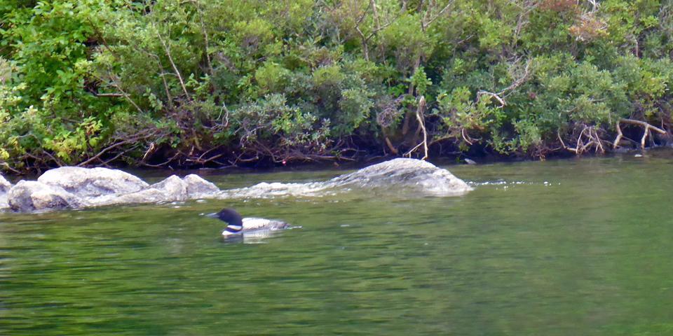loon, Squam Lake, NH