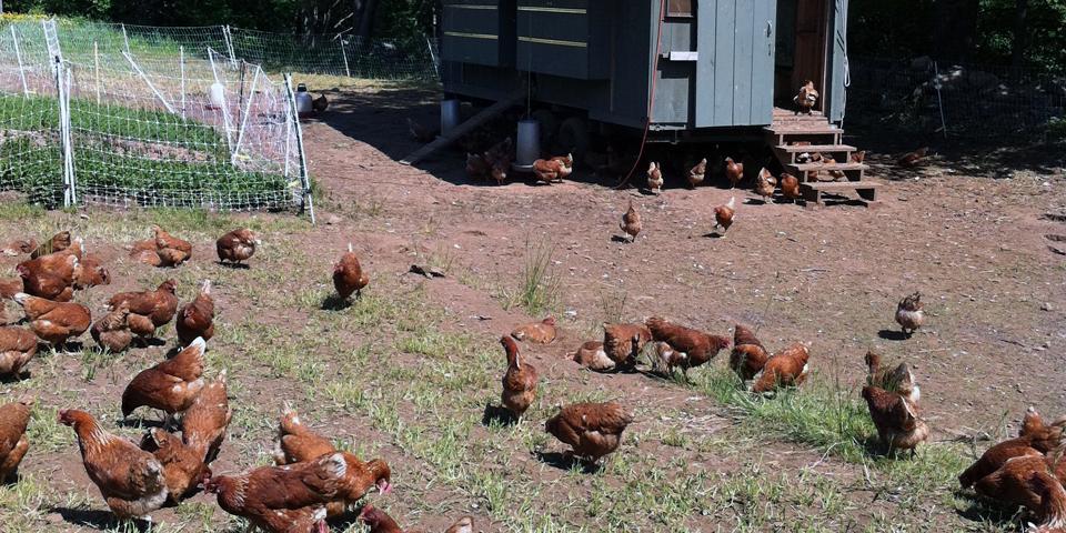 chickens, Primo, Rockland, Maine