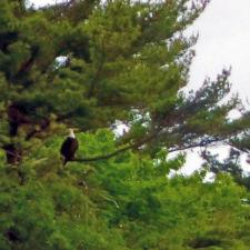 bald eagle, Portland, Maine