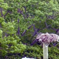 osprey nest, Casco Bay, Portland, Maine