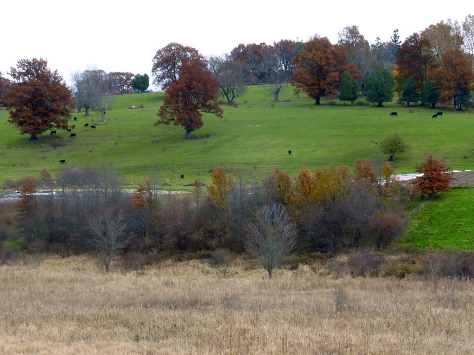 Angus cattle on hill, Groton, Massachusetts