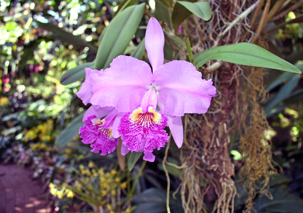 orchid, Selby Gardens, Sarasota, Florida