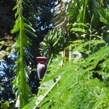 banana tree, Mount Kilauea area, Hawaii
