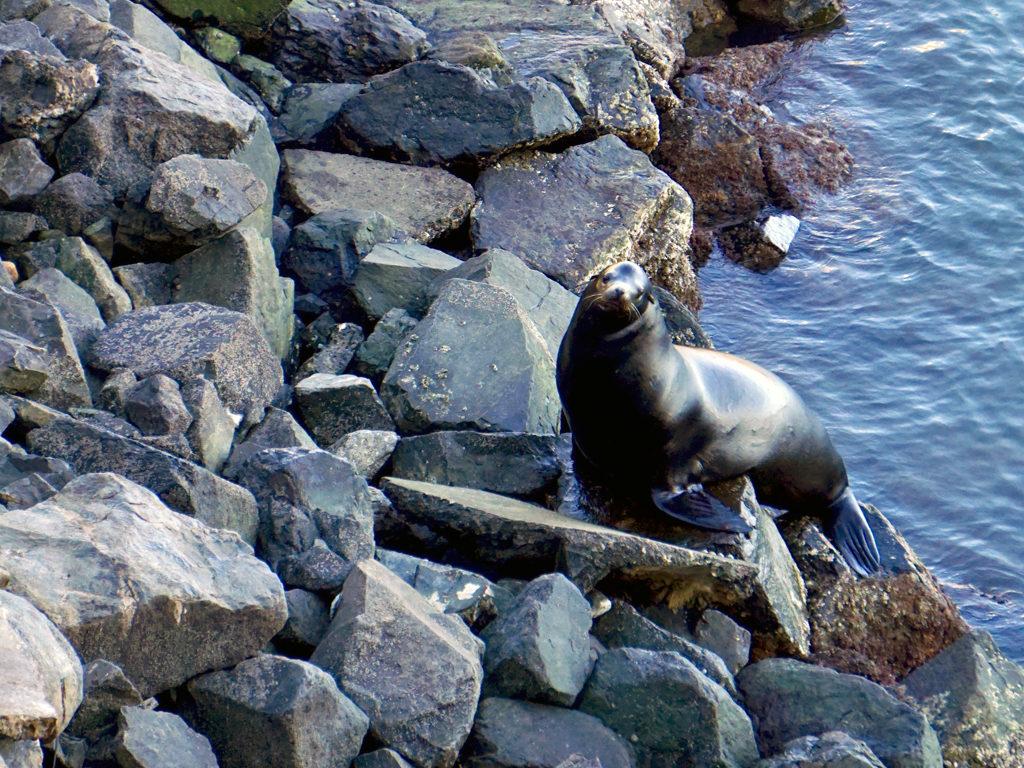 sea lion, Ensenada, Eurodam