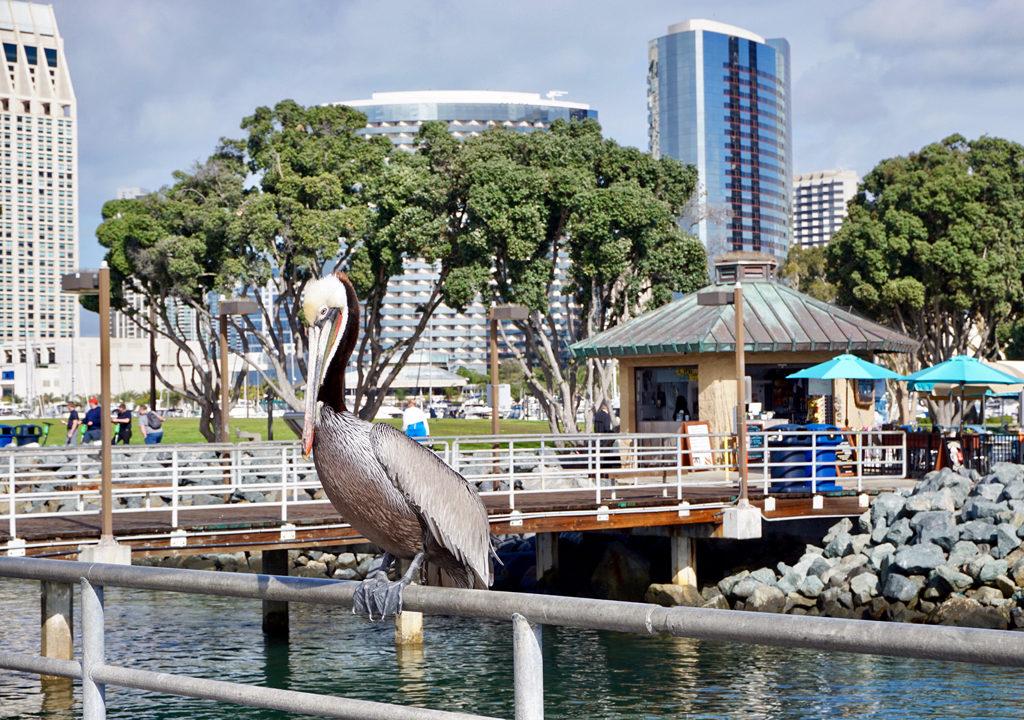 pelican, Embarcadero Park, San Diego, California