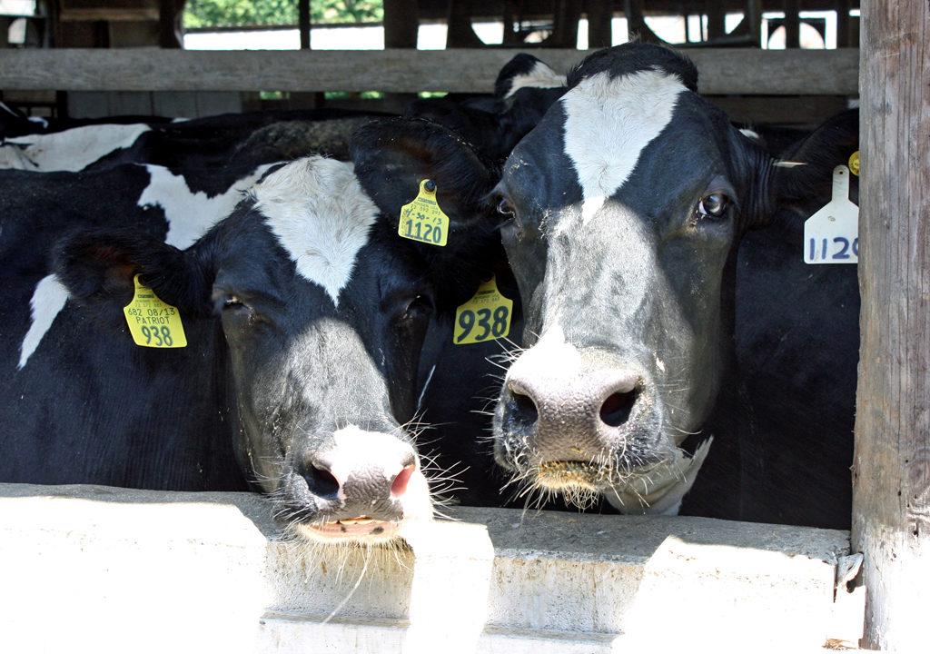 Holstein cows, Maple View Farm, Chapel Hill, NC