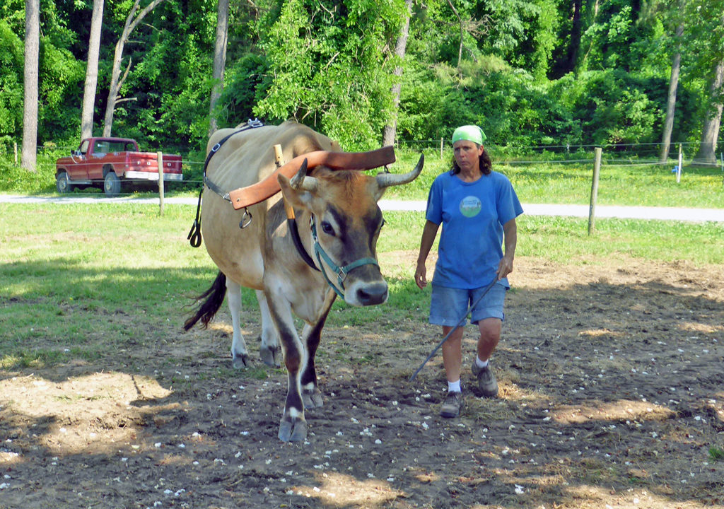 Fryer the ox, Chapel Hill Creamery, Chapel Hill, NC